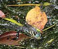 Aeshna crenata (laying eggs s8).JPG