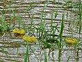African Bullfrogs (Pyxicephalus edulis) (6045360718).jpg