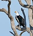 African Fish Eagle (Haliaeetus vocifer) (33264129941).jpg