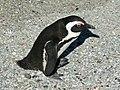 African Penguin SMTC.jpg