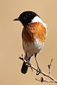 African Stonechat, Saxicola torquatus -- male -- at Rietvlei Nature Reserve, South Africa (14733754596).jpg