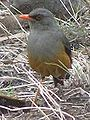 African mountain-thrush1.jpg