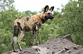 African painted dog, or African wild dog, Lycaon pictus at Savuti, Chobe National Park, Botswana. (31885486213).jpg