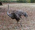 Afrikanischer Strauss Struthio camelus Tierpark Hellabrunn-4.jpg