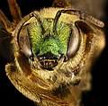 Agapostemon virescens, f, face, Caroline Co. MD 2016-04-15-17.28 (26849102512).jpg