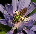 Agapostemon virescens - female - Flickr - S. Rae (1).jpg