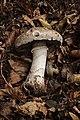 Agaricus subperonatus - Gruga-0051.jpg