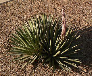 <i>Agave</i> × <i>arizonica</i> species of plant