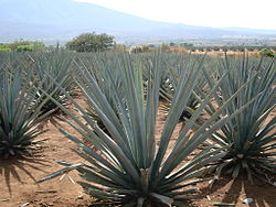Agave tequilana (Jay8085).jpg