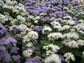 Ageratum from Lalbagh flower show Aug 2013 7976.JPG