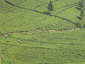 Black tea - Tea plantation in Java, Indonesia.
