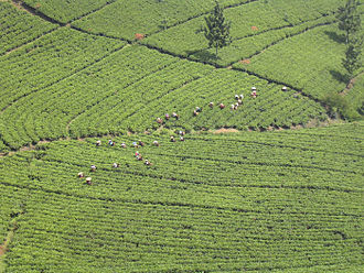 Black tea - Tea plantation in Java, Indonesia.