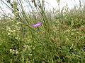 Agrostemma githago 002.jpg