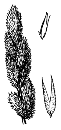 Agrostis densiflora flowers drawing