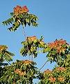 Ailanthus altissima 20180814b.jpg