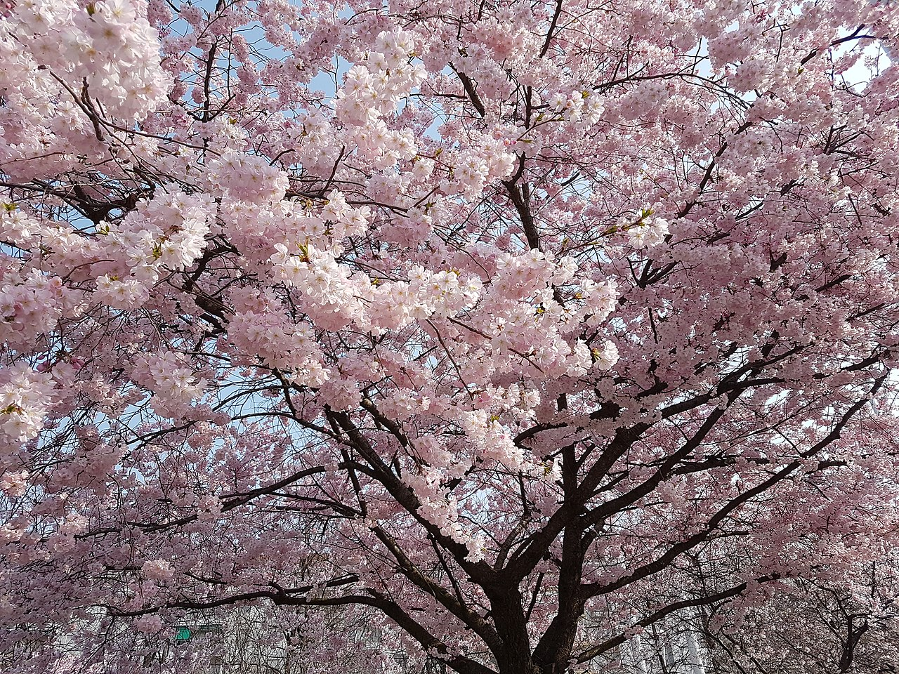 Albero Con Fiori Bianchi file:albero con fiori rosa - wikimedia commons