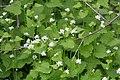 Alliaria petiolata SCA-4863.jpg