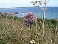 Allium ampeloprasum - view towards Nare Head and Gull Rock - geograph.org.uk - 1181497.jpg