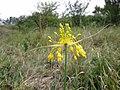 Allium flavum sl 1.jpg