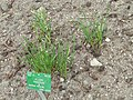 Allium ramosum - Copenhagen Botanical Garden - DSC07671.JPG