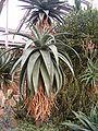 Aloe candelabrum BotGardBln271207B.jpg