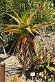 Aloe vaombe 01.jpg