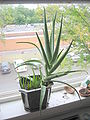 Aloe vera with shoots 2.jpg