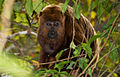 Alouatta guariba (Brown Howler Monkey).jpg