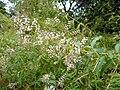 Aloysia citrodora 1.JPG