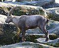 Alpensteinbock Capra ibex ibex Tierpark Hellabrunn-4.jpg