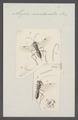 Alysia - Print - Iconographia Zoologica - Special Collections University of Amsterdam - UBAINV0274 046 09 0008.tif