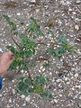 Amaranthus retroflexus sl6.jpg