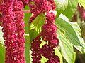 Amaranthus tricolor2.jpg