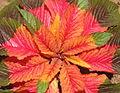 Amaranthus tricolor Illumination (4432258222).jpg