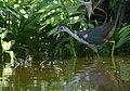 Amaurornis phoenicurus - Siau Island.jpg