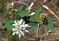 Amelanchier alnifolia RF.jpg
