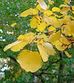 Amelanchier alnifolia autumn.jpg