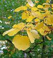 Amelanchier alnifolia autumn.jpg