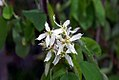 Amelanchier canadensis 0zz.jpg