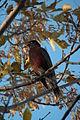 American Robin (Turdus migratorius) - Saskatoon 01.jpg