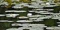 American White Waterlily (Nymphaea odorata) - Kitchener, Ontario 01.jpg