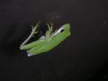 American green tree frog 7.JPG