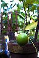 American lemon.jpg