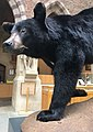 Amerikanischer Schwarzbär (Ursus americanus).jpg