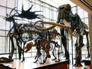 Beneski Museum of Natural History - Mammals of the Ice Age in the Main Hall