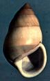 Amphidromus perversus butoti shell.png