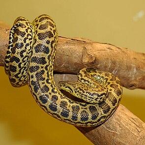 Gelbe Anakonda (Eunectes notaeus)