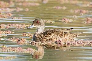 Menindee Lakes - Image: Anas gracilis tas