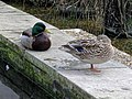 Anas platyrhynchos mallard pair in Victoria Embankment Gardens 01.jpg
