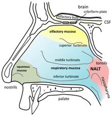 Human nose - Wikipedia